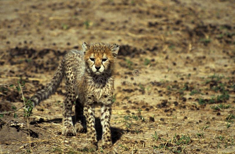 Download Gepardjunges stockfoto. Bild von wildnis, kenia, afrika - 68680