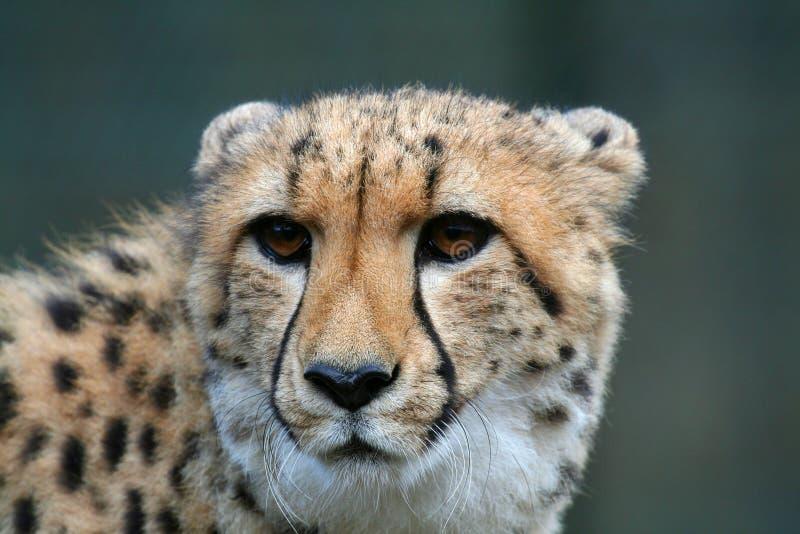 Gepardkopf stockfotos