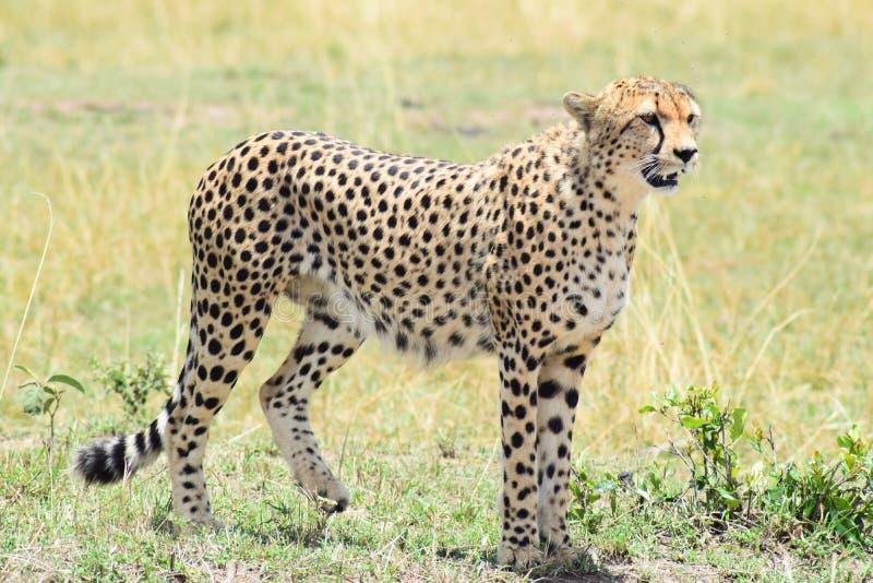 Gepardman arkivfoton