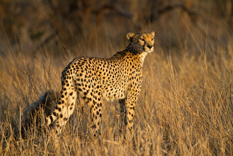 Gepardmutter stockfoto