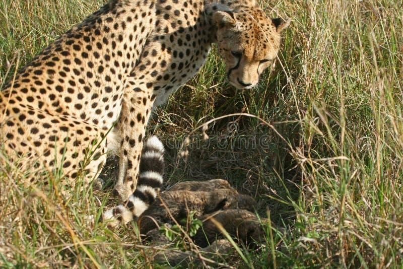 Gepardmutter mit Jungen stockfotos