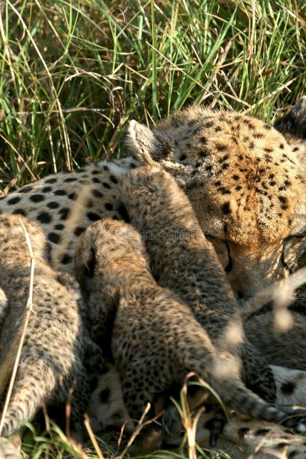 Gepardmutter mit Jungen lizenzfreie stockfotografie