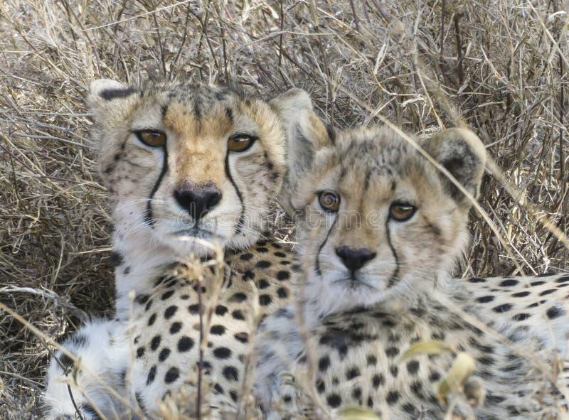 Gepardmutter- und -jungsblickalarm während sie Rest stockbild