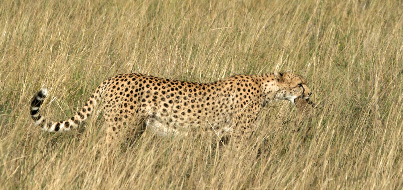 Gepardmuttertragendes Junges stockbild