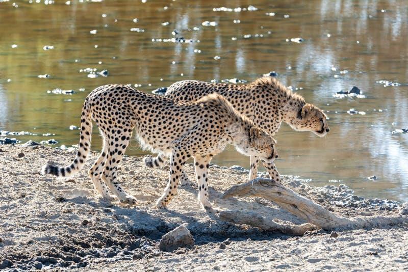Gepardpar fotografering för bildbyråer