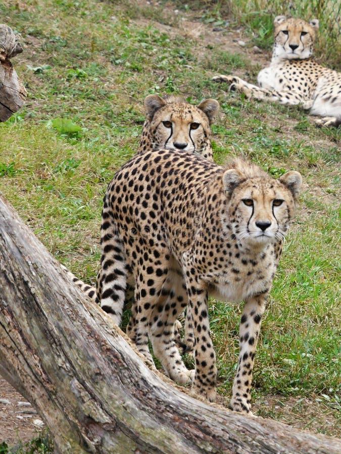 Gepards fotografie stock