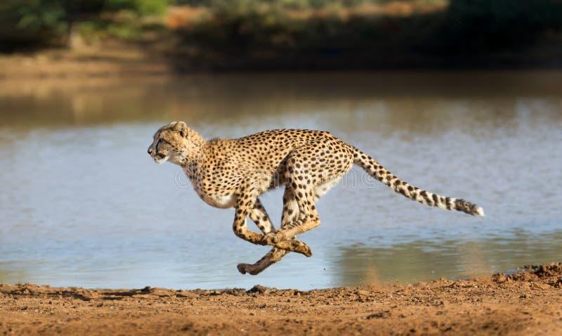 Gepardspring, Acinonyxjubatus, Sydafrika arkivbilder