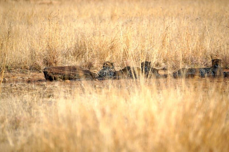 Gepardy kłama w cieniu w Pilanesberg parku narodowym zdjęcia royalty free
