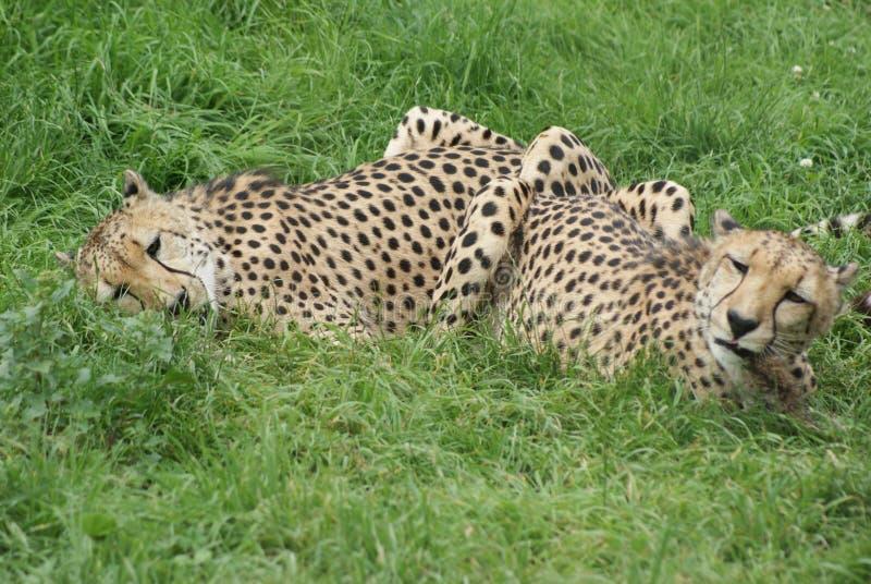 Gepardy Kłama w trawie obrazy stock