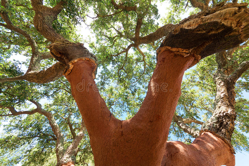 Gepelde cork eikenboom royalty-vrije stock afbeeldingen