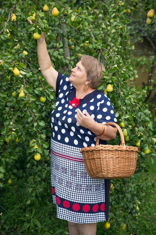 Gepensioneerdevrouw onder perenboom met mand royalty-vrije stock foto's