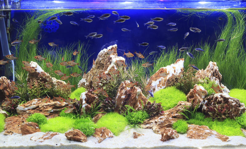 Gepflanztes Frischwasseraquarium stockfoto