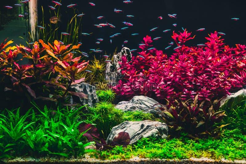 Gepflanztes tropisches Aquarium mit Neon stockfoto