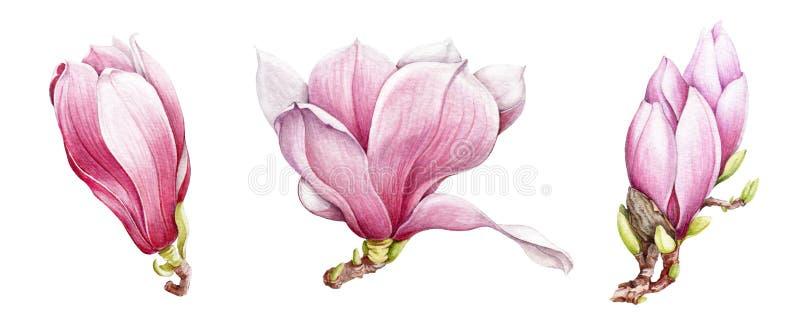 Geplaatste bloemen van de waterverf de roze magnolia Hand getrokken de lentebloesems Ge?soleerd op de witte achtergrond vector illustratie