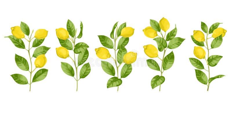 Geplaatste citroenbrunches royalty-vrije illustratie