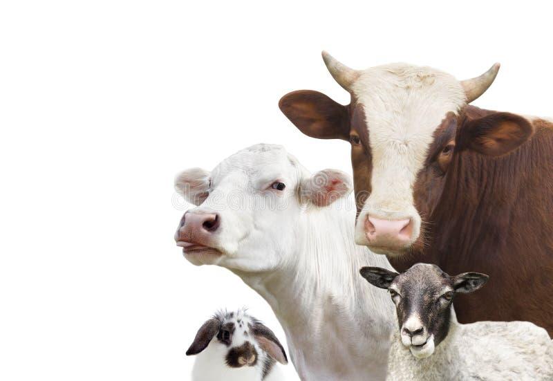 Geplaatste de dieren van het veelandbouwbedrijf stock foto's