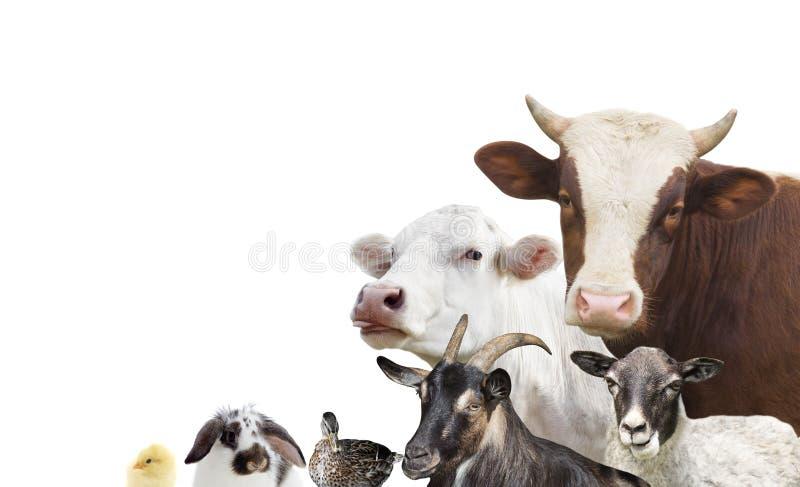 Geplaatste de dieren van het veelandbouwbedrijf stock afbeeldingen