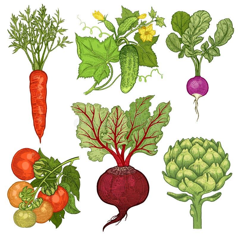 Geplaatste groenten Wortel, komkommer, radijs, tomaat, bieten, arti vector illustratie