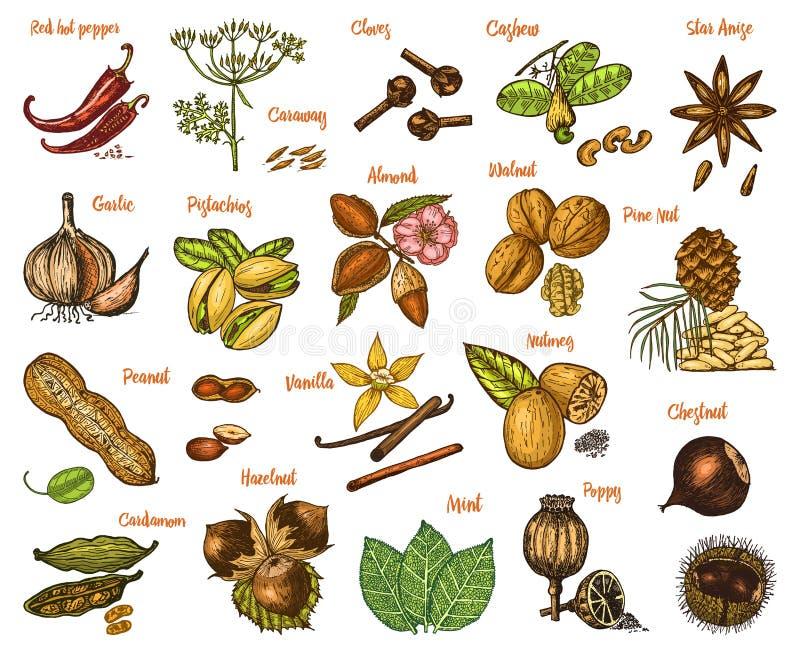 Geplaatste kruiden, specerijen en kruiden notemuskaat en pistaches en knoflook, karwij en zaden voor het menu Organische installa vector illustratie