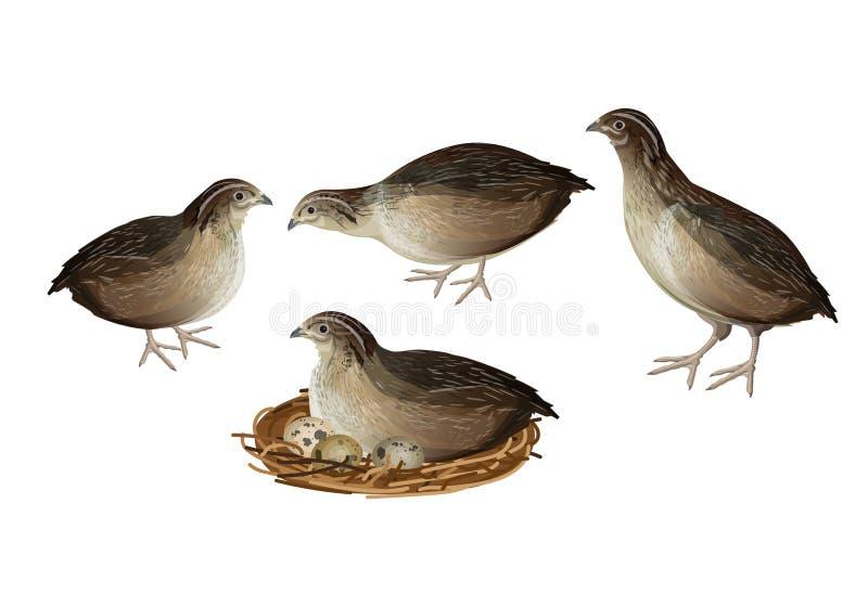 Geplaatste kwartelsvogels royalty-vrije illustratie
