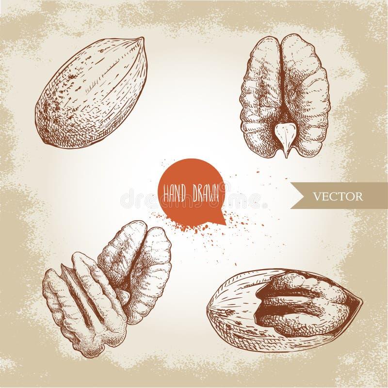 Geplaatste pecannootnoten Gepelde kern en gehele shell De hand getrokken vectorinzameling van de schetsstijl Organische exotische vector illustratie