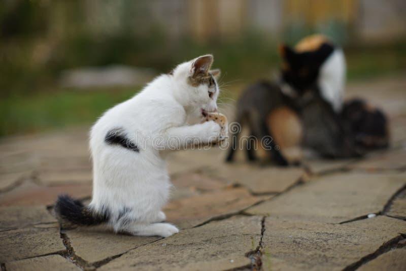 Gepootte witte kitten zit in de tuin in een grappige poel, katten eten vet komisch stock afbeeldingen