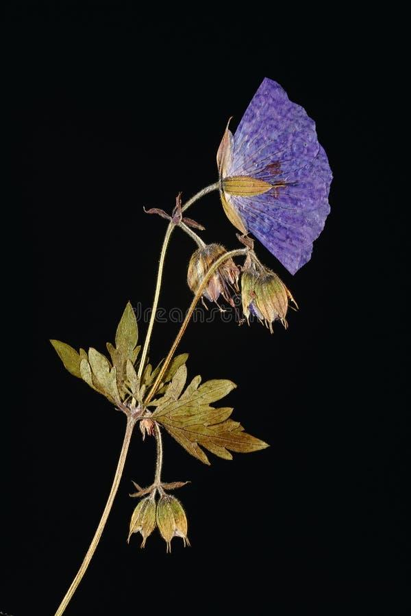 gepresste blume beleuchtet von hinten stockfoto bild von floral knospe 44329850. Black Bedroom Furniture Sets. Home Design Ideas