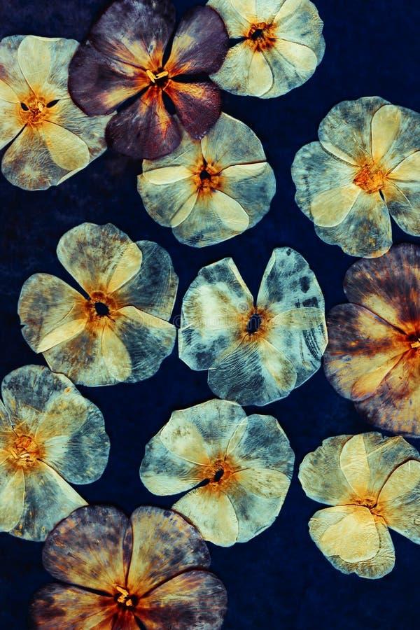 Gepresste getrocknete Flammenblumeknospen und -blumen Blumenhintergrund, Hintergrund für oshibana, scrapbooking, Herbarium Ein gr stockfoto