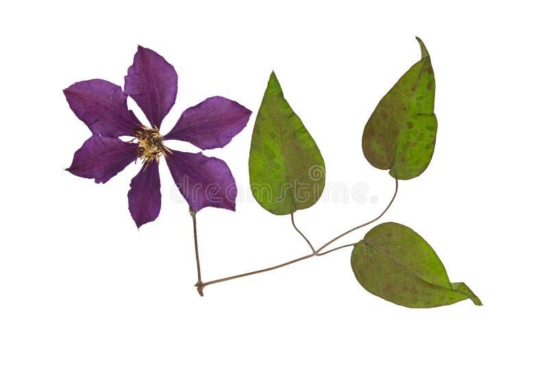 Gepresste und Trockenblumeklematis mit grünen Blättern Getrennt stockfoto