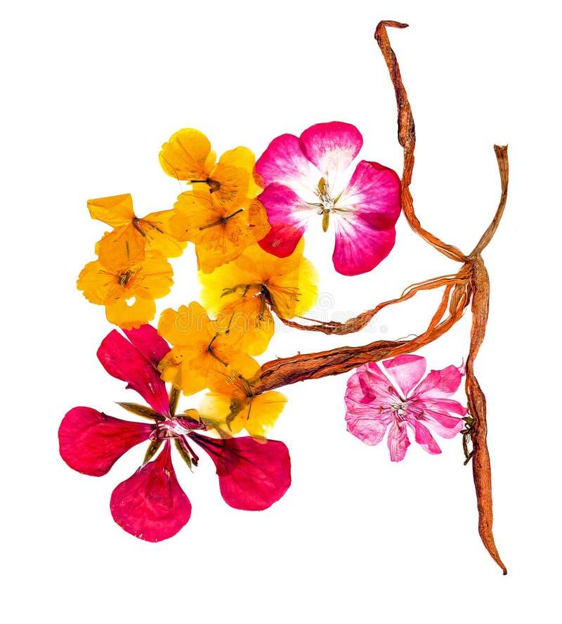 Gepresste und Trockenblumen Celandineblüte lizenzfreies stockbild