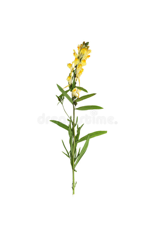 Gepresster und getrockneter empfindlicher Blume Linaria gemein auf Stamm mit lizenzfreies stockfoto