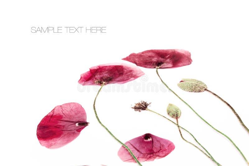 Gepresster und getrockneter Mohnblumenblumenhintergrund lizenzfreie stockfotos