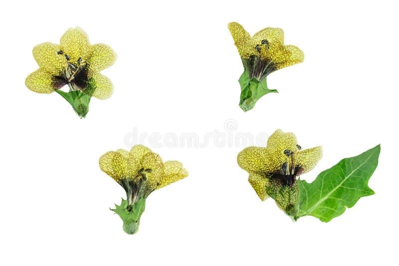 Gepresstes und der Trockenblumen schwarzes Bilsenkraut lizenzfreies stockbild