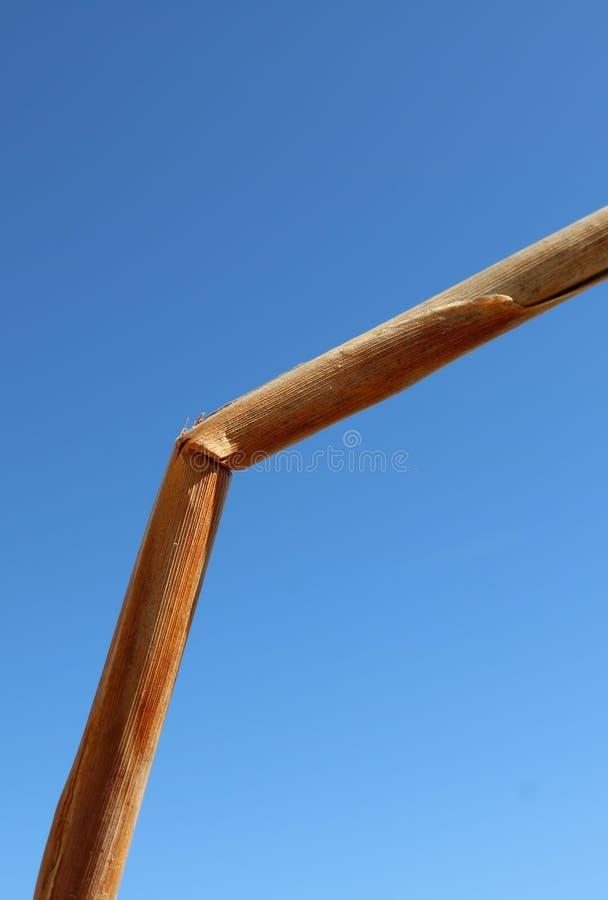 Gequetschtes Schilf gegen Brillantblauhimmelhintergrund stockfoto