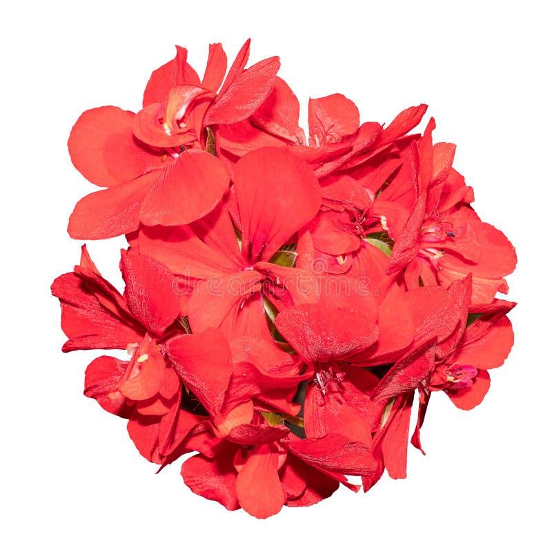 Gerânio vermelho pequeno das flores no botão redondo no fundo branco imagens de stock royalty free