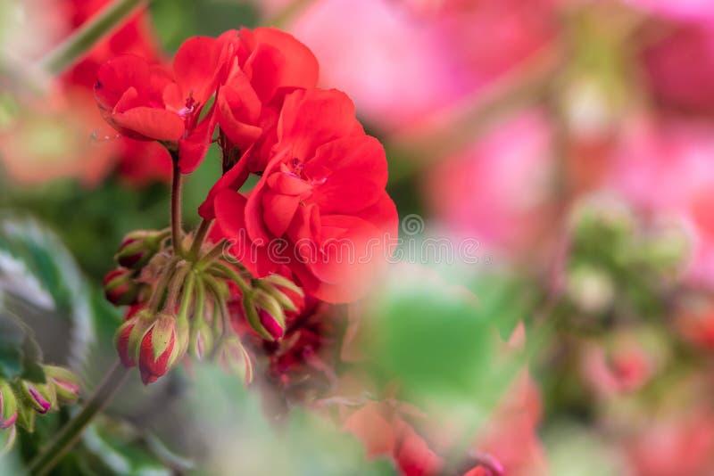 Gerânio vermelhos em um canteiro de flores colorido fotos de stock royalty free