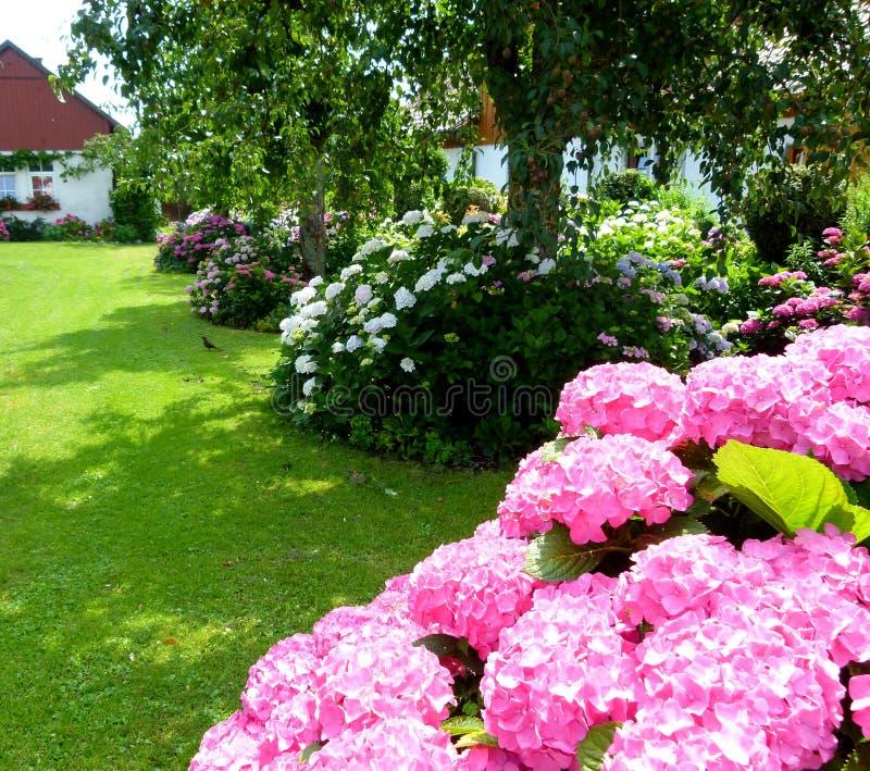 Geräumiger Hausgarten mit Wiese und vielen Hortensiebüschen in voller Blüte stockfoto