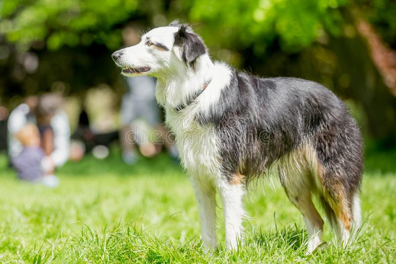Ger en witte border collie-herdershond die zich op een gebied bevinden stock fotografie