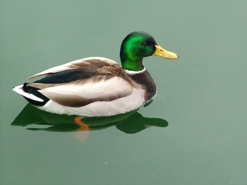 Gerade Ducky stockfotos
