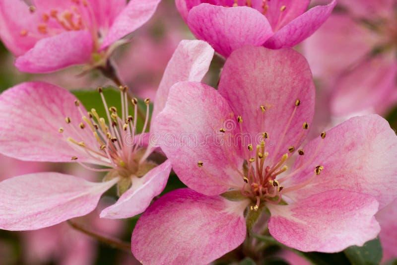 Gerade ein geregnet Apfelbaumblüte mit grüner Blattnahaufnahme lizenzfreie stockfotografie