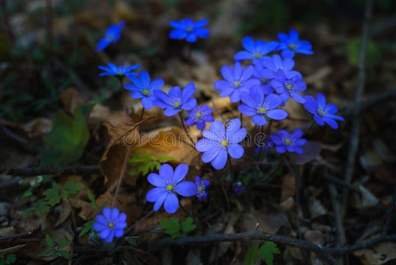 Gerade ein geregnet Blühende Hepatica-nobilis am Waldsonnigen Tag stockfoto