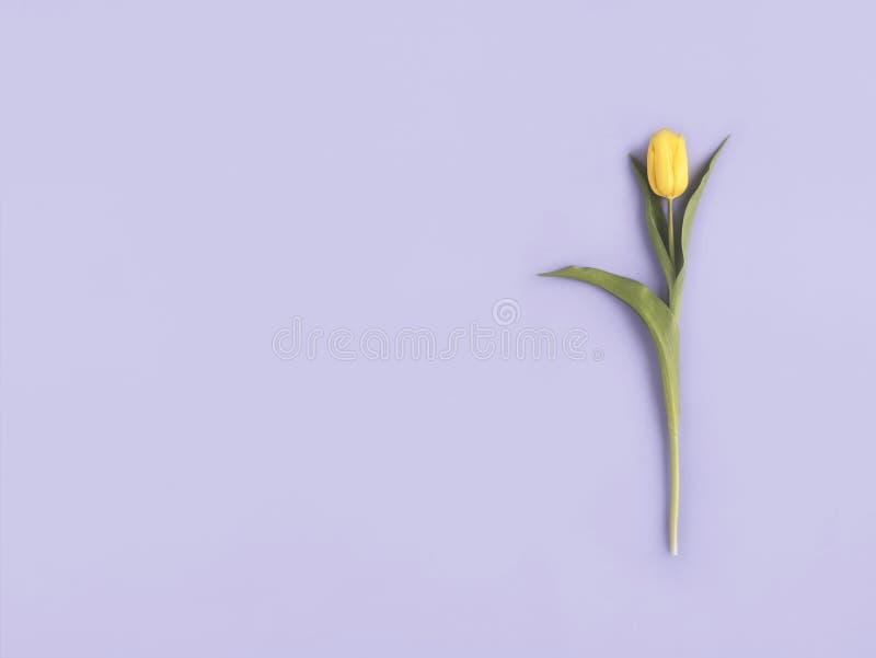 Gerade ein geregnet Gelbe Blume auf purpurrotem Pastellhintergrund Flache Lage, Draufsicht Minimales Konzept Fügen Sie Ihren Text stockbilder