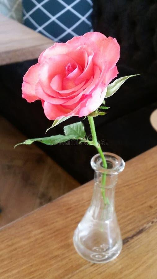 gerade eine einsame Rose lizenzfreie stockfotos