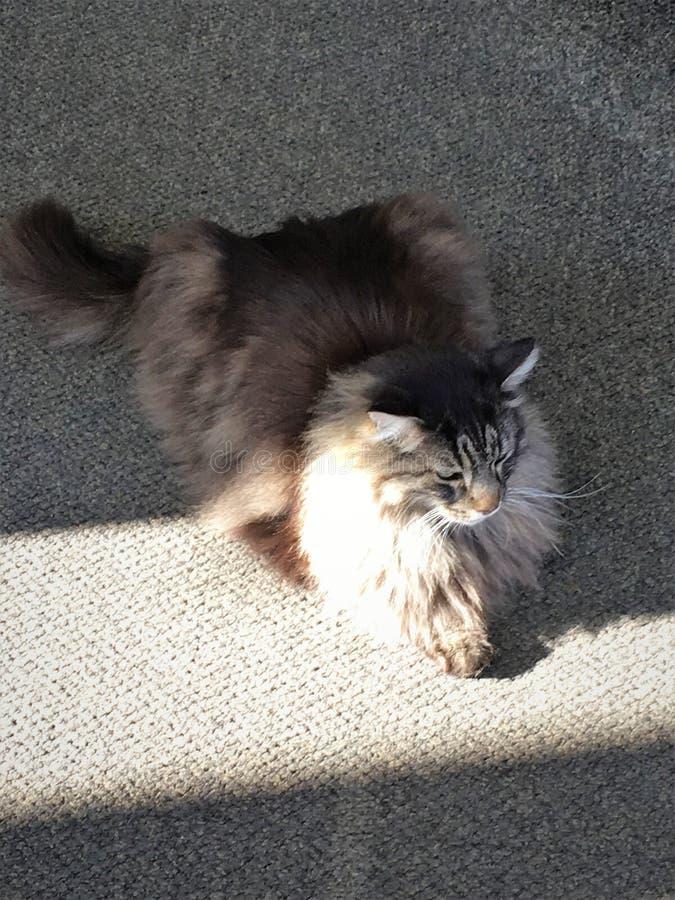 Gerade eine sehr flaumige Katze, die aus den Grund legt stockbilder