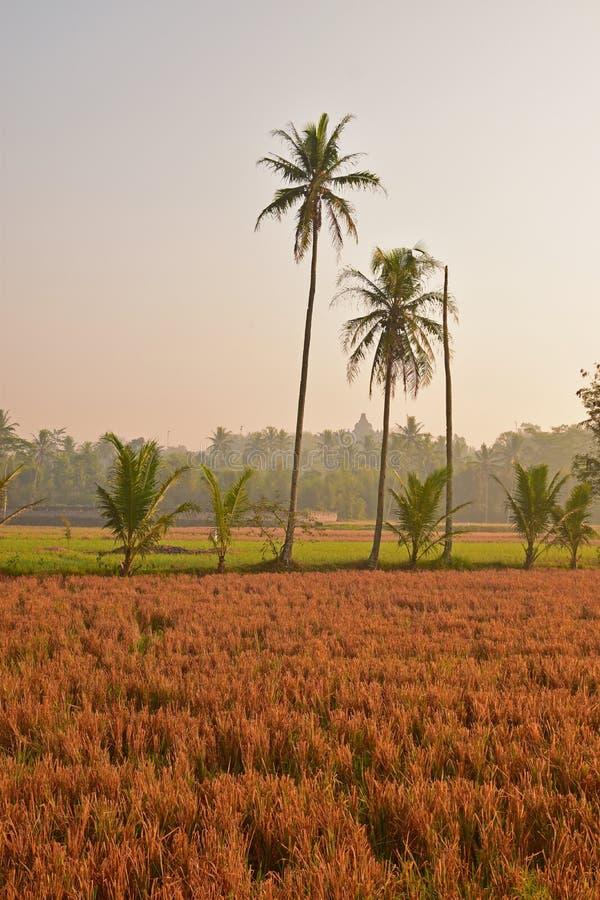 Gerade geerntetes Reisfeld im ländlichen Landschaftsbereich während des Sonnenaufgangs lizenzfreie stockfotografie
