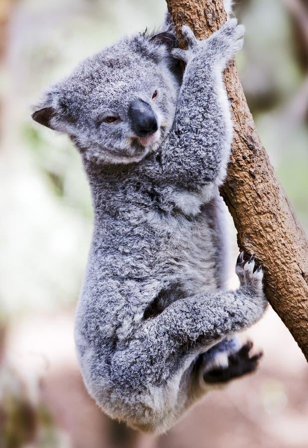 Gerade hängender Koala stockfotos