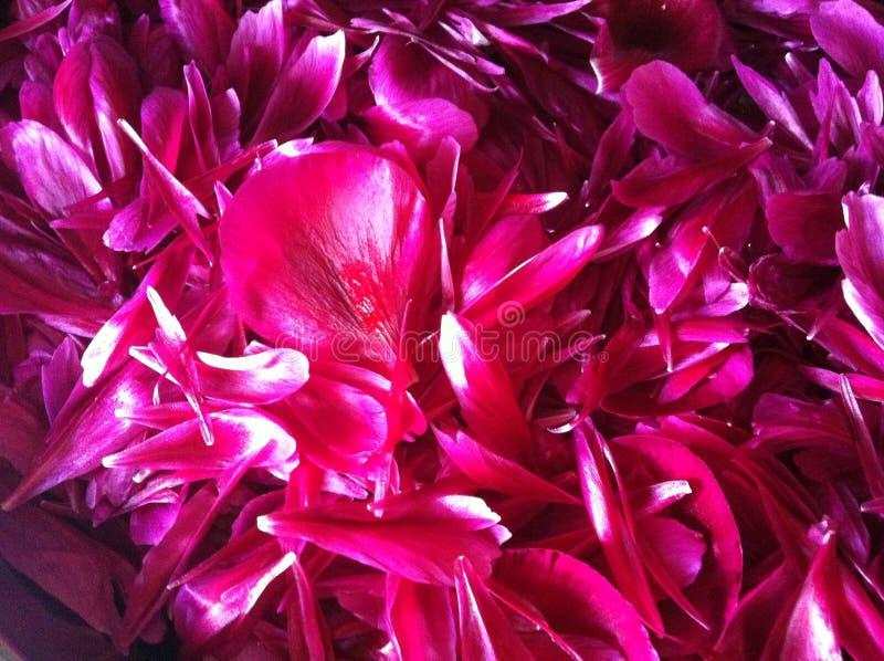 Gerade rote Pfingstrosenblumenblätter des kleinen Fingers im abstrakt lizenzfreies stockbild
