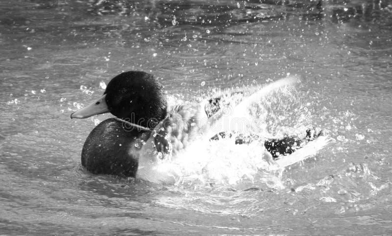 Gerade wie Wasser weg von einer Enten ` s Rückseite lizenzfreies stockfoto