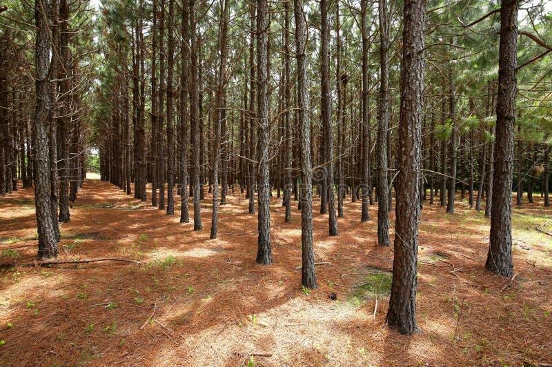 Geraden von den Kiefern, die in einem Wald wachsen lizenzfreie stockfotos
