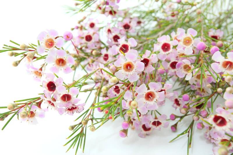 Geraldton Wax. Australian native wild flower pink Geraldton Wax, chameleucium uncinatum isolated on white stock photography